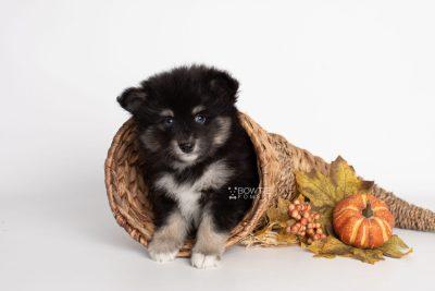 puppy197 week7 BowTiePomsky.com Bowtie Pomsky Puppy For Sale Husky Pomeranian Mini Dog Spokane WA Breeder Blue Eyes Pomskies Celebrity Puppy web4