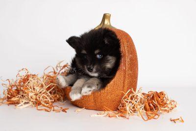 puppy197 week7 BowTiePomsky.com Bowtie Pomsky Puppy For Sale Husky Pomeranian Mini Dog Spokane WA Breeder Blue Eyes Pomskies Celebrity Puppy web6