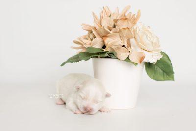 puppy198 week1 BowTiePomsky.com Bowtie Pomsky Puppy For Sale Husky Pomeranian Mini Dog Spokane WA Breeder Blue Eyes Pomskies Celebrity Puppy web4