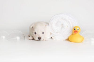 puppy198 week3 BowTiePomsky.com Bowtie Pomsky Puppy For Sale Husky Pomeranian Mini Dog Spokane WA Breeder Blue Eyes Pomskies Celebrity Puppy web3