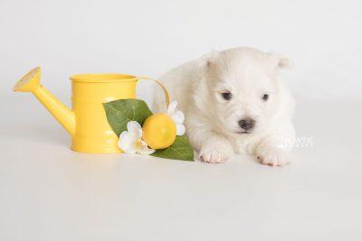 puppy198 week3 BowTiePomsky.com Bowtie Pomsky Puppy For Sale Husky Pomeranian Mini Dog Spokane WA Breeder Blue Eyes Pomskies Celebrity Puppy web4