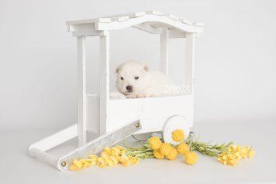 puppy198 week3 BowTiePomsky.com Bowtie Pomsky Puppy For Sale Husky Pomeranian Mini Dog Spokane WA Breeder Blue Eyes Pomskies Celebrity Puppy web6