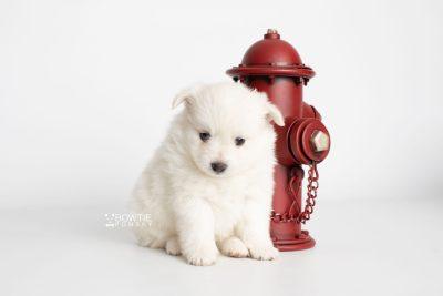 puppy198 week5 BowTiePomsky.com Bowtie Pomsky Puppy For Sale Husky Pomeranian Mini Dog Spokane WA Breeder Blue Eyes Pomskies Celebrity Puppy web2