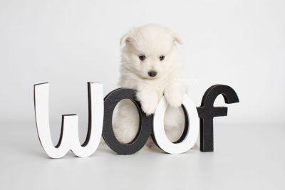 puppy198 week5 BowTiePomsky.com Bowtie Pomsky Puppy For Sale Husky Pomeranian Mini Dog Spokane WA Breeder Blue Eyes Pomskies Celebrity Puppy web5