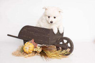 puppy198 week7 BowTiePomsky.com Bowtie Pomsky Puppy For Sale Husky Pomeranian Mini Dog Spokane WA Breeder Blue Eyes Pomskies Celebrity Puppy web1