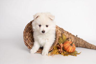 puppy198 week7 BowTiePomsky.com Bowtie Pomsky Puppy For Sale Husky Pomeranian Mini Dog Spokane WA Breeder Blue Eyes Pomskies Celebrity Puppy web4