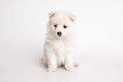 puppy198 week7 BowTiePomsky.com Bowtie Pomsky Puppy For Sale Husky Pomeranian Mini Dog Spokane WA Breeder Blue Eyes Pomskies Celebrity Puppy web7