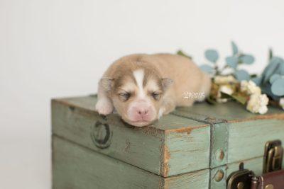 puppy199 week1 BowTiePomsky.com Bowtie Pomsky Puppy For Sale Husky Pomeranian Mini Dog Spokane WA Breeder Blue Eyes Pomskies Celebrity Puppy web4