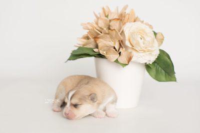 puppy199 week1 BowTiePomsky.com Bowtie Pomsky Puppy For Sale Husky Pomeranian Mini Dog Spokane WA Breeder Blue Eyes Pomskies Celebrity Puppy web5