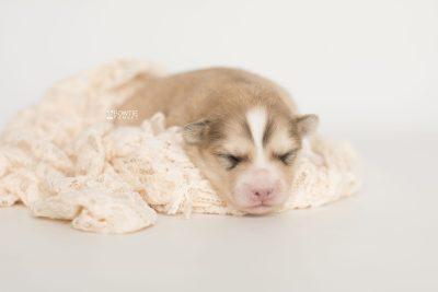 puppy199 week1 BowTiePomsky.com Bowtie Pomsky Puppy For Sale Husky Pomeranian Mini Dog Spokane WA Breeder Blue Eyes Pomskies Celebrity Puppy web8