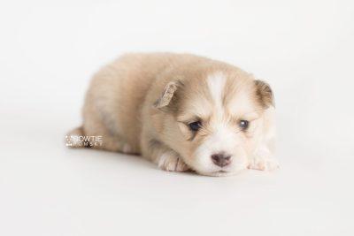puppy199 week3 BowTiePomsky.com Bowtie Pomsky Puppy For Sale Husky Pomeranian Mini Dog Spokane WA Breeder Blue Eyes Pomskies Celebrity Puppy web10