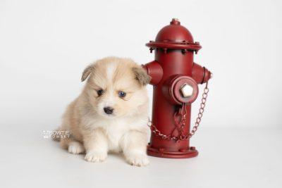 puppy199 week5 BowTiePomsky.com Bowtie Pomsky Puppy For Sale Husky Pomeranian Mini Dog Spokane WA Breeder Blue Eyes Pomskies Celebrity Puppy web2