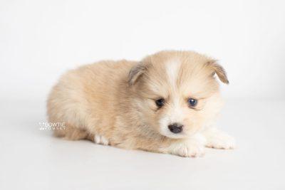 puppy199 week5 BowTiePomsky.com Bowtie Pomsky Puppy For Sale Husky Pomeranian Mini Dog Spokane WA Breeder Blue Eyes Pomskies Celebrity Puppy web4
