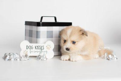 puppy199 week5 BowTiePomsky.com Bowtie Pomsky Puppy For Sale Husky Pomeranian Mini Dog Spokane WA Breeder Blue Eyes Pomskies Celebrity Puppy web5