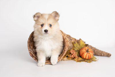 puppy199 week7 BowTiePomsky.com Bowtie Pomsky Puppy For Sale Husky Pomeranian Mini Dog Spokane WA Breeder Blue Eyes Pomskies Celebrity Puppy web3
