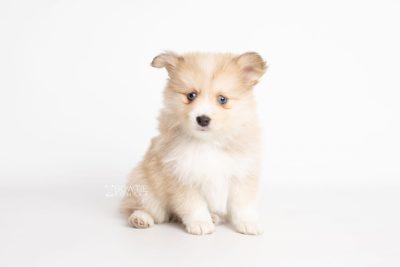 puppy199 week7 BowTiePomsky.com Bowtie Pomsky Puppy For Sale Husky Pomeranian Mini Dog Spokane WA Breeder Blue Eyes Pomskies Celebrity Puppy web6