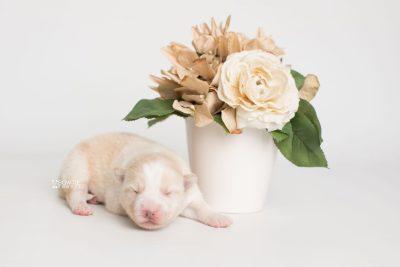 puppy201 week1 BowTiePomsky.com Bowtie Pomsky Puppy For Sale Husky Pomeranian Mini Dog Spokane WA Breeder Blue Eyes Pomskies Celebrity Puppy web2