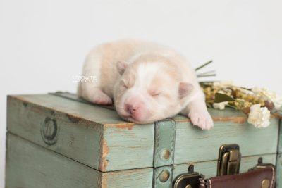 puppy201 week1 BowTiePomsky.com Bowtie Pomsky Puppy For Sale Husky Pomeranian Mini Dog Spokane WA Breeder Blue Eyes Pomskies Celebrity Puppy web4