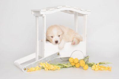 puppy201 week3 BowTiePomsky.com Bowtie Pomsky Puppy For Sale Husky Pomeranian Mini Dog Spokane WA Breeder Blue Eyes Pomskies Celebrity Puppy web3