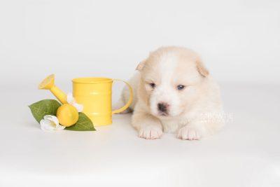 puppy201 week3 BowTiePomsky.com Bowtie Pomsky Puppy For Sale Husky Pomeranian Mini Dog Spokane WA Breeder Blue Eyes Pomskies Celebrity Puppy web4