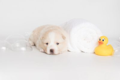 puppy201 week3 BowTiePomsky.com Bowtie Pomsky Puppy For Sale Husky Pomeranian Mini Dog Spokane WA Breeder Blue Eyes Pomskies Celebrity Puppy web8