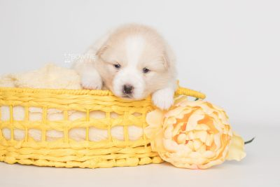 puppy201 week3 BowTiePomsky.com Bowtie Pomsky Puppy For Sale Husky Pomeranian Mini Dog Spokane WA Breeder Blue Eyes Pomskies Celebrity Puppy web9
