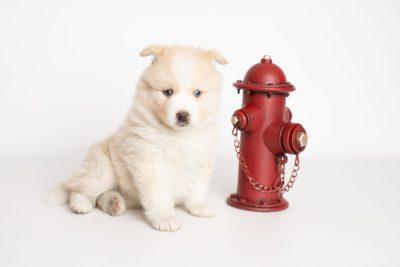 puppy201 week5 BowTiePomsky.com Bowtie Pomsky Puppy For Sale Husky Pomeranian Mini Dog Spokane WA Breeder Blue Eyes Pomskies Celebrity Puppy web2