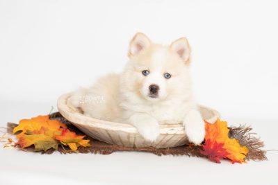 puppy201 week7 BowTiePomsky.com Bowtie Pomsky Puppy For Sale Husky Pomeranian Mini Dog Spokane WA Breeder Blue Eyes Pomskies Celebrity Puppy web5