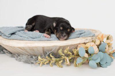 puppy202 week1 BowTiePomsky.com Bowtie Pomsky Puppy For Sale Husky Pomeranian Mini Dog Spokane WA Breeder Blue Eyes Pomskies Celebrity Puppy web1