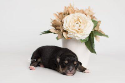 puppy202 week1 BowTiePomsky.com Bowtie Pomsky Puppy For Sale Husky Pomeranian Mini Dog Spokane WA Breeder Blue Eyes Pomskies Celebrity Puppy web2