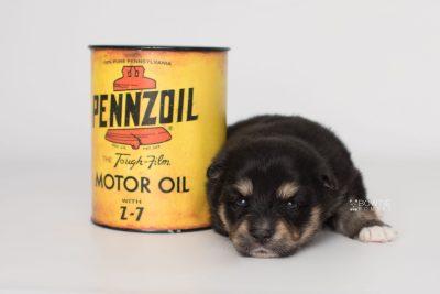 puppy202 week3 BowTiePomsky.com Bowtie Pomsky Puppy For Sale Husky Pomeranian Mini Dog Spokane WA Breeder Blue Eyes Pomskies Celebrity Puppy web3