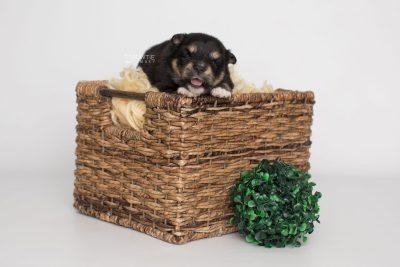 puppy202 week3 BowTiePomsky.com Bowtie Pomsky Puppy For Sale Husky Pomeranian Mini Dog Spokane WA Breeder Blue Eyes Pomskies Celebrity Puppy web5