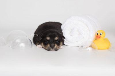 puppy202 week3 BowTiePomsky.com Bowtie Pomsky Puppy For Sale Husky Pomeranian Mini Dog Spokane WA Breeder Blue Eyes Pomskies Celebrity Puppy web7
