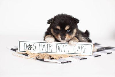 puppy202 week5 BowTiePomsky.com Bowtie Pomsky Puppy For Sale Husky Pomeranian Mini Dog Spokane WA Breeder Blue Eyes Pomskies Celebrity Puppy web1