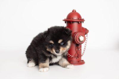 puppy202 week5 BowTiePomsky.com Bowtie Pomsky Puppy For Sale Husky Pomeranian Mini Dog Spokane WA Breeder Blue Eyes Pomskies Celebrity Puppy web3