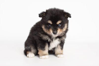 puppy202 week5 BowTiePomsky.com Bowtie Pomsky Puppy For Sale Husky Pomeranian Mini Dog Spokane WA Breeder Blue Eyes Pomskies Celebrity Puppy web5