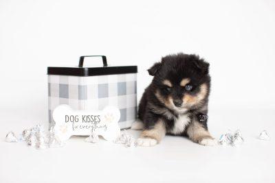 puppy202 week5 BowTiePomsky.com Bowtie Pomsky Puppy For Sale Husky Pomeranian Mini Dog Spokane WA Breeder Blue Eyes Pomskies Celebrity Puppy web6
