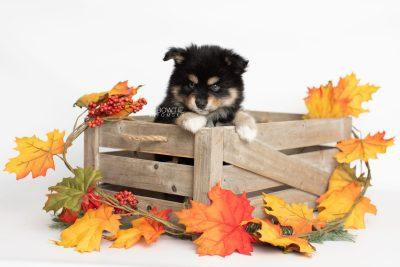 puppy202 week7 BowTiePomsky.com Bowtie Pomsky Puppy For Sale Husky Pomeranian Mini Dog Spokane WA Breeder Blue Eyes Pomskies Celebrity Puppy web4