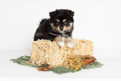 puppy202 week7 BowTiePomsky.com Bowtie Pomsky Puppy For Sale Husky Pomeranian Mini Dog Spokane WA Breeder Blue Eyes Pomskies Celebrity Puppy web5