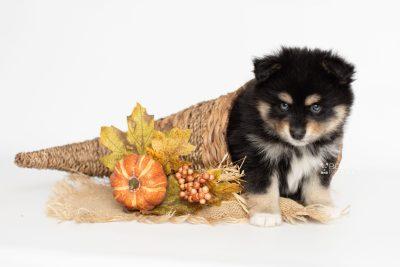 puppy202 week7 BowTiePomsky.com Bowtie Pomsky Puppy For Sale Husky Pomeranian Mini Dog Spokane WA Breeder Blue Eyes Pomskies Celebrity Puppy web9