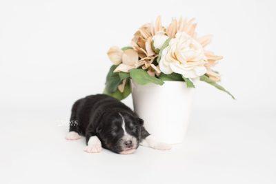 puppy203 week1 BowTiePomsky.com Bowtie Pomsky Puppy For Sale Husky Pomeranian Mini Dog Spokane WA Breeder Blue Eyes Pomskies Celebrity Puppy web2