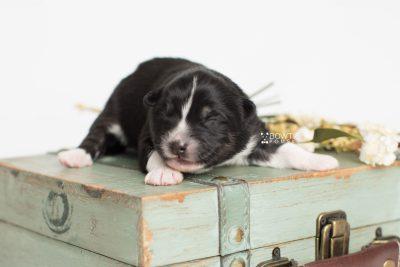puppy203 week1 BowTiePomsky.com Bowtie Pomsky Puppy For Sale Husky Pomeranian Mini Dog Spokane WA Breeder Blue Eyes Pomskies Celebrity Puppy web4