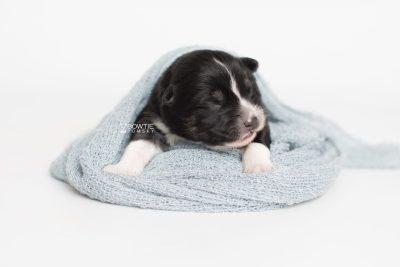 puppy203 week1 BowTiePomsky.com Bowtie Pomsky Puppy For Sale Husky Pomeranian Mini Dog Spokane WA Breeder Blue Eyes Pomskies Celebrity Puppy web7