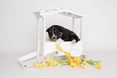 puppy203 week3 BowTiePomsky.com Bowtie Pomsky Puppy For Sale Husky Pomeranian Mini Dog Spokane WA Breeder Blue Eyes Pomskies Celebrity Puppy web2