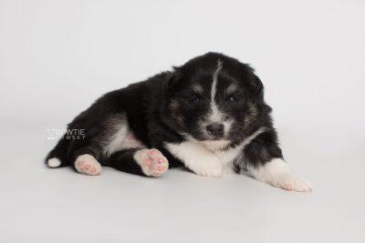 puppy203 week3 BowTiePomsky.com Bowtie Pomsky Puppy For Sale Husky Pomeranian Mini Dog Spokane WA Breeder Blue Eyes Pomskies Celebrity Puppy web4