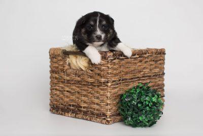 puppy203 week3 BowTiePomsky.com Bowtie Pomsky Puppy For Sale Husky Pomeranian Mini Dog Spokane WA Breeder Blue Eyes Pomskies Celebrity Puppy web6