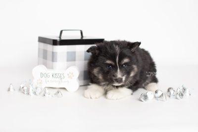 puppy203 week5 BowTiePomsky.com Bowtie Pomsky Puppy For Sale Husky Pomeranian Mini Dog Spokane WA Breeder Blue Eyes Pomskies Celebrity Puppy web2