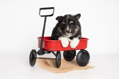 puppy203 week5 BowTiePomsky.com Bowtie Pomsky Puppy For Sale Husky Pomeranian Mini Dog Spokane WA Breeder Blue Eyes Pomskies Celebrity Puppy web3