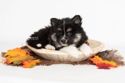 puppy203 week7 BowTiePomsky.com Bowtie Pomsky Puppy For Sale Husky Pomeranian Mini Dog Spokane WA Breeder Blue Eyes Pomskies Celebrity Puppy web5