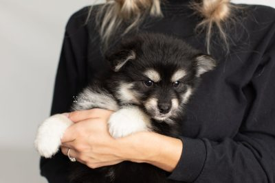 puppy205 week7 BowTiePomsky.com Bowtie Pomsky Puppy For Sale Husky Pomeranian Mini Dog Spokane WA Breeder Blue Eyes Pomskies Celebrity Puppy web2